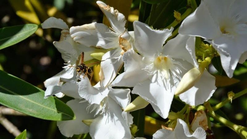 Fleurs maquis corse lanantaiseaparis